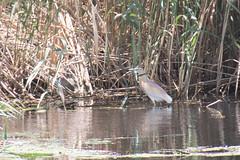 ,  (elkost) Tags:  kalochori kalochrion birds  ardeolaralloides