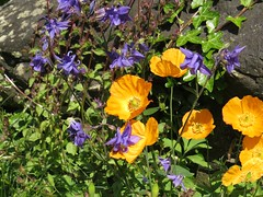 1444 Aguilegia and Welsh Poppies (Andy panomaniacanonymous) Tags: 20160527 aaa aquilegia bbb blue fff flowers gardenflower ggg ooo orange ppp welshpoppymeconopsiscambrica www