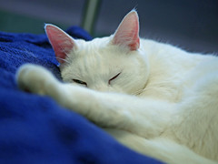 Snowball (AbbyB.) Tags: rescue pet cat newjersey feline shelter adopt adoptable shelterpet petphotography easthanovernj mtpleasantanimalshelter