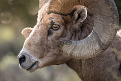 Bighorn (jmdarter) Tags: bear blue black mountains green fog spring sheep wildlife valley lamar yellowstone elk bighorn ram bison