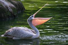 Pelican (manojmcn) Tags: birds fauna nikon singapore travelphotography birdphotography nikon70300vr nikond7100