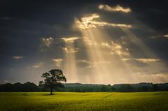 Sunbeams on rapefield (Jenner Ka) Tags: clouds sunrise wolken rape sonnenaufgang raps sonnenstrahlen raysoflight rapsfeld rapefield beamsoflight