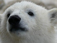 Good morning  (BrigitteE1) Tags: bear portrait white face germany geotagged mammal europe flickr pretty portrt depthoffield polarbear goodmorning lili bremerhaven br ours eisbr ursusmaritimus gutenmorgen specanimal specanimalphotooftheday eisbrlili polarbearlili