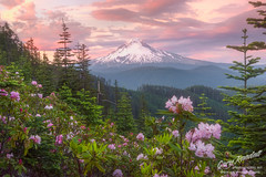 The Carpet Matches The Drapes (Gary Randall) Tags: gar95172 oregon mthood mounthood sunset mountain flowers rhododendron clouds