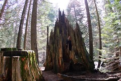 Shattered Giant (daveynin) Tags: forest nps stump sequoia