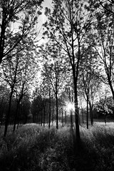 File d'alberi (luca_pictures) Tags: trees sunset bw sun sunlight grass leaves vertical spring shadows rows trunks marche