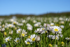 A field of daisies (Wouter de Bruijn) Tags: flowers flower color nature daisies spring outdoor daisy fujifilm xt1 fujinonxf35mmf14r