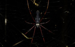 Nephila pilipes (dustaway) Tags: nature rainforest nsw arthropoda rotarypark arachnida lismore araneae nephila araneidae araneomorphae australianspiders northernrivers nephilapilipes nephilinae northerngoldenorbweaver