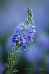 Veronica (laszlofromhalifax) Tags: canada flower novascotia veronica bloom halifax frontyard