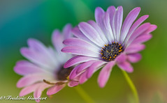 sweet trials (frederic.gombert) Tags: pink flowers blue light summer orange sunlight white flower color macro green spring nikon dof d810 macrodreams
