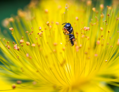 Time for Lunch (Shannonsong) Tags: flower macro nature yellow closeup insect stamens bee tiny pollen hymenoptera stjohnswort pollinator