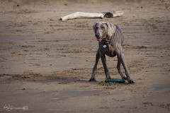 Colin (Forty-9) Tags: dog pet holiday beach june colin canon seaside sunday devon weimaraner frisbee fetch lightroom 2016 ef70300mmf456isusm eflens forty9 eos60d tomoskay 19062016 19thjune2016