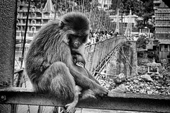 Endless Love (Septro) Tags: portrait bw india love nature animal monkey earth mother planet ape feelings rishikesh