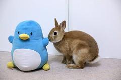 Rabbit and Penguin (mensore) Tags: family pet brown cute rabbit bunny penguin ichigo  netherlanddwarf penguin