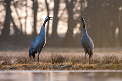 Double shout (lookashG) Tags: morning sun bird nature water pool grass birds animal animals fauna sunrise dawn wildlife meadow meadows natura aves grassland animalia woda sunup daybreak poranek rano soce 300mmf28 ptak ranek trawa ptaki commoncrane ki ka grusgrus wschd zwierzta uraw breakofday wschdsoca wit rozlewisko urawszary urawzwyczajny urawpopielaty lookashggmailcom ukaszgwidziel zaranie sonyilca77m2