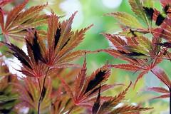 Maple leaves (Mah Nava) Tags: leaves maple japanesemaple ahorn lokischmidtgarten