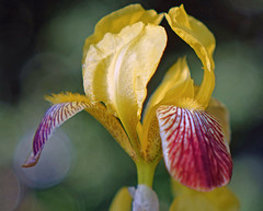 Summersea (mgalley) Tags: iris flower yellow outdoors blossom bokeh bloom