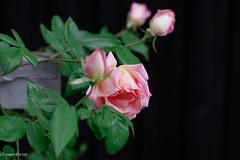 Sounenir de Mme. Leonie Viennot (Y*o*K*o*) Tags: old flower rose garden de tea cl leonie mme viennot sounenir