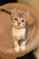Savanah (Save-A-Pet Adoption Center) Tags: female cat kitten tabby foster savanah 2016 saveapet tabbywhite robynslitter