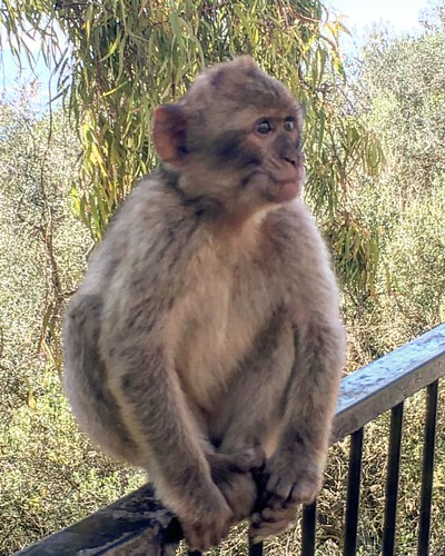 #gibilterra #gibraltar #ig_captures #instamood #instadaily #igers #animals #monkey