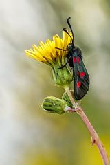 Zygaena en flor (pajavi69) Tags: naturaleza macro planta nature animal nikon bokeh flor campo brillante insecto profundidaddecampo airelibre orgnico 105mm volador zygaena macrofotografa patrn lepidptero d7100