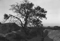 One Tree Hill (robinguymer) Tags: bw film canona1 caffenol bwfp