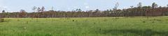 Longleaf pine savannah in the Apalachicola National Forest, Liberty County Florida (jimf_29605) Tags: florida sigma olympus wildflowers prescribedburn e5 105mm libertycounty calopogonmultiflorus apalachicolanationalforest longleafpinesavannah manyfloweredgrasspinkorchid olympus4xteleconverter