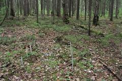 Plot 3, Replica 1 (Dark coniferous mixed forest). (Yugra State University) Tags: decomposition greentea carboncycle raisedbog massloss mukhrinofieldstation roiboostea teabagindex teacomposition standardisedplantlitter