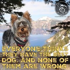 I have the best dog. Click love if you do too. (itsayorkielife) Tags: instagram itsayorkielife yorkie yorkshireterrier