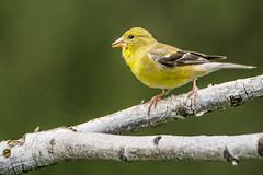 goldfinch (branchu) Tags: bird bufflehead chardonneret