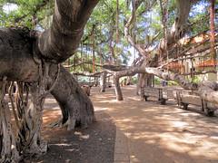 Banyan Tree Park (altfelix11) Tags: park hawaii maui lahaina frontstreet banyantree courthousesquare