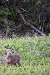 Deer at Dusk (Vermont Lenses) Tags: white mammal vermont wildlife deer tailed whitetailed