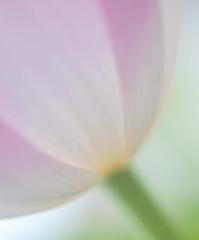 Tulip 3 (The Winter Wren) Tags: flowers summer macro green nature colors beautiful outdoors flora micro tulip