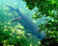 Always fun (EcoSnake) Tags: summer fish water june wildlife prehistoric sturgeon naturecenter whitesturgeon livingfossil idahofishandgame