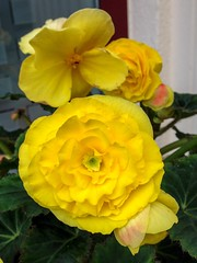 Begonia (regina_jaenicke) Tags: day182 p3662016