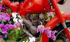 Motom 1960 (johnfranky_t) Tags: johnfranky ciclomotore motom orchidea rosso samsung s6 motore carburatore parafamgo serbatoio copertone pneumatique réservoir moteur orchidée carburateur pédale tire tank engine orchid carburetor pedal llantas tanque elmotor laorquídea elcarburador elpedal