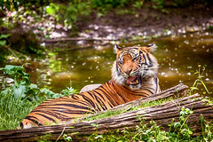Rrrrrr.... (Lebemitgott) Tags: wild cat photoshop zoo fotograf fotografie tiger kater augsburg ktzchen  kreative wildkatze  500px     streifenkatze