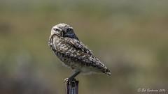Burrowing Owl (Bob Gunderson) Tags: california birds northerncalifornia sierras owls athenecunicularia burrowingowl sierracounty maddalenaranch