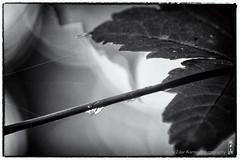 rain_drop (alamond) Tags: light shadow blackandwhite bw monochrome rain canon is leaf drop 7d l usm ef mkii markii 70300 brane llens f456 alamond zalar
