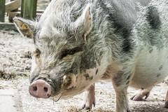 it's so nice to be a pig (pel16931) Tags: park holland netherlands animals garden sony nederland deer nl alpha dieren enkhuizen 6000 noordholland wilhelminapark hertenkamp heemtuin ilce westfriesland