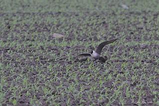 1.04203 Labbe à longue queue / Stercorarius longicaudus sp. / Long-tailed Jaeger