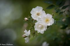 Rosor (Hans Olofsson) Tags: roses flower garden blommor midsommar trädgård 2016 rosor skammelstorp