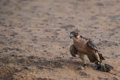 Falconry in the Emiraat Ras Al Khaimah (Rita Willaert) Tags: al asia khaimah ras ae rasalkhaimah azi valk woestijn verenigde arabische verenigdearabischeemiraten valkerij emiraat emiratenfalconry verenigdearabischeemiratenfalconry emiraatrasalkhaimah
