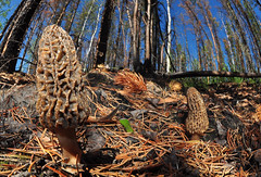 The Morel World (Fish as art) Tags: canada cooking nature close harvest fungi forestfloor taiga morels borealforest mushroomharvest coniferforests morelpicking nwtmorels oregonmorels britishcolumbiamorels morelphotography