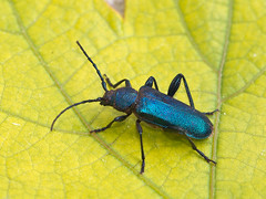 Blauvioletter Scheibenbock (Eerika Schulz) Tags: blauvioletter scheibenbock blauer callidium violaceum käfer bug beetle eerika schulz