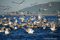 Feeding Frenzy (Nicholas Ferrary) Tags: ocean sea seagulls nature nikon seagull sealife shearwater gibraltar mediterraneansea seabirds yellowleggedgull corysshearwater baitfish balearicshearwater straitsofgibraltar d810 baitball bayofgibraltar nikond810 nikon200400mmvr gibraltarwildlife nicholasferrary d800e nikond800e