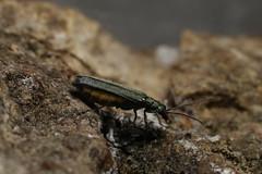 Oedemera lurida (dhobern) Tags: june denmark europe coleoptera 2016 søborg oedemera oedemeridae lurida oedemerinae