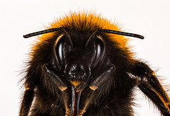 Bumblebee is a beautiful yet terrifying insect (when looking close enough...) (Olof Virdhall) Tags: closeup canon insect bumblebee makro eos5 mkiii
