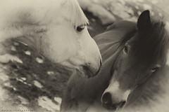 Two horses (thomas.modig) Tags: horse animal splittone