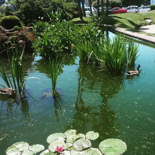 Le papere nella fontana #natureglobepix #destinationearth #travelpics #travelphotographer #pallanza #lago #lagomaggiore